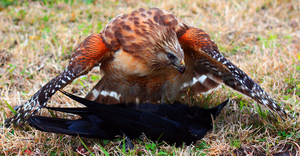Red Shouldered Hawk by wulzey
