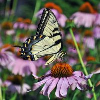 A Tiger swallowtail by masscreation