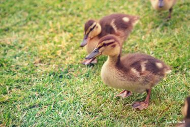 Duckings by jessburnett