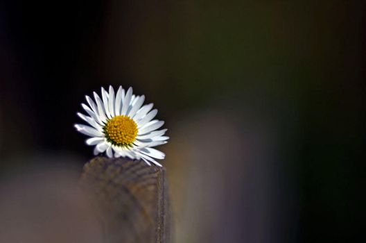 Miss Daisy by augenweide