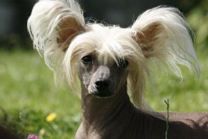 Chiese Crested Dog by bulkanh