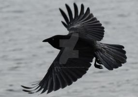 Black Crow in flight by stockmichelle