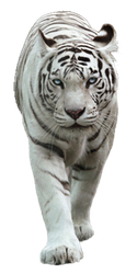 White Tiger PNG by yotoots