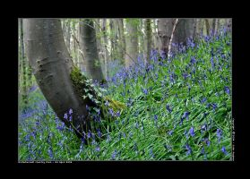 Bluebell Patch by honz12