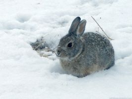 Desert cottontail in the snow by sataikasia