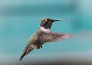 139. Black-chinned Hummingbird by Spirit-whales