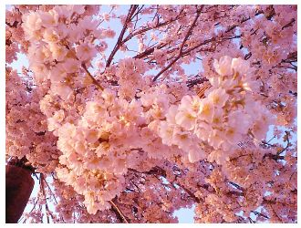 Cheery Blossom by mive