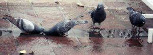 Pigeons drinking in the same water by CristianVelazquez