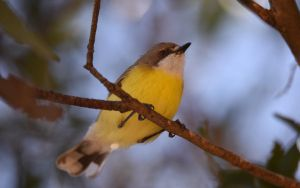 White-Throated Gerygone 2462 by DPasschier
