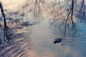 Coot by Maquenda