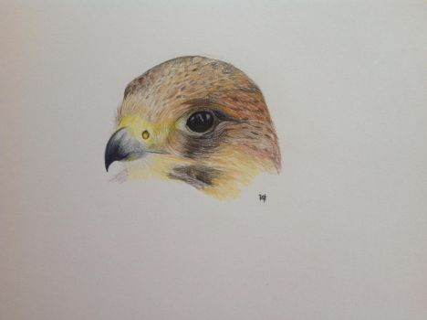 falcon by VikingOwl