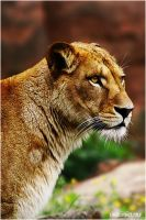 Barbary Lion:.Golden Time.: by WhiteSpiritWolf