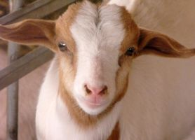 Baby Billygoat by Photos-By-Michelle