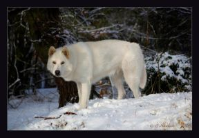 Northern Inuit Dog by genisisone