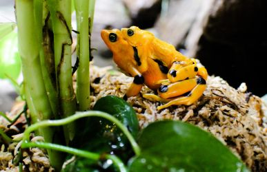 Panamanian golden frog by loveorcaz