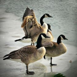 Canada Geese on ice by ariseandrejoice