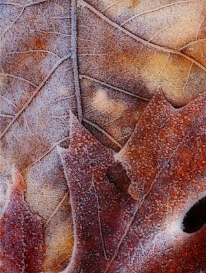 Frost on Brown Leaves by Daisy919