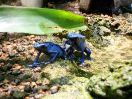 Zoo Zurich - Blue poison arrow frogs by Tabascofanatikerin