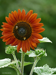 5 and 10 Sunflower by Mogrianne