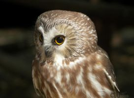 Sleek Northern Saw-Whet Owl by Ciameth