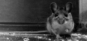 A mouse by Shutterbug8288