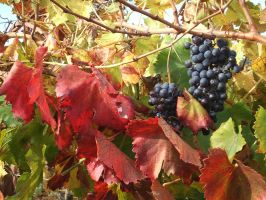 Montalcino - Toscana - Grapes by cfs3creative