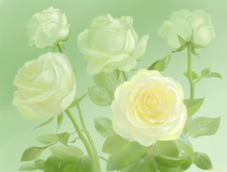 White Roses by yellika