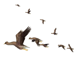 Flying Birds 05 PNG Stock by Roy3D