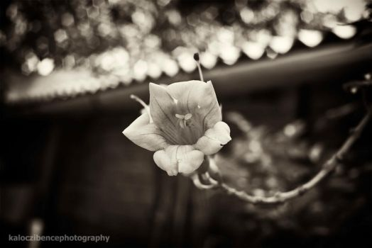 flower in dark by kgbphoto