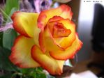 Another rose... by MichalG