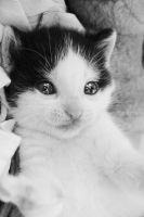 so lovely kitten by dziubianu