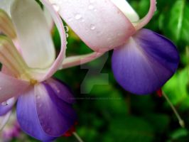 Water Dropped Fuchsias by Sing-Down-The-Moon