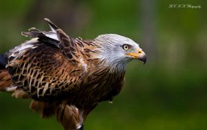 - red kite - by PiTurianer