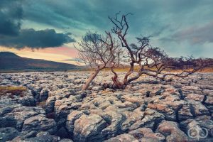 Limestone Tree by Dapicture