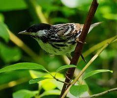 Blackpoll Warbler 001 by Elluka-brendmer