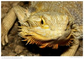 Bearded Dragon by In-the-picture