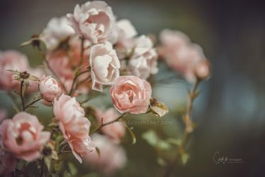 More roses by CindysArt