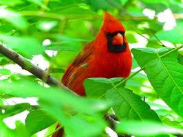 Cardinal watching his mate by jacquelynndee88