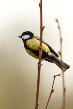 Parus major by coloridas-aves