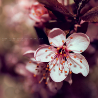 .sakura by freezinka