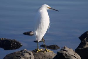 Snowy Egret 2 by ChristopherPayne
