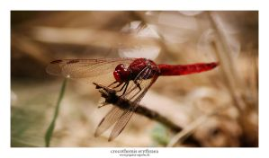 crocothemis Erythraea by Pegasus-Express