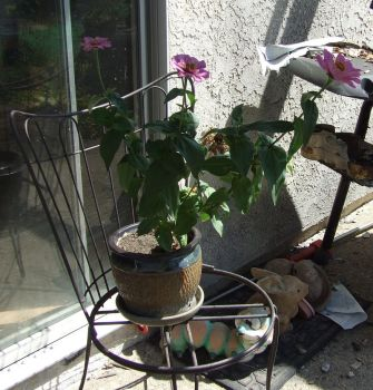 Zinnia Growing by dtf-stock