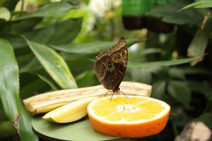 Butterfly on fruit by xMiss-KittyCat