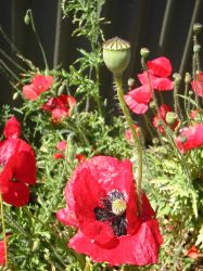 poppies 1 by kayne-stock