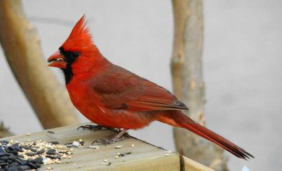 Big Red Cardinal by GramMoo