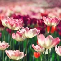 tulips by Orwald