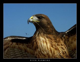 Hawk by dick13