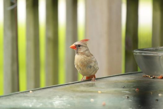 Juvenile Cardinal with crest by LadyLyonnesse