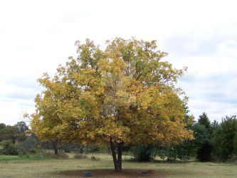 The Old Feeding Tree in Fall by LinearRanger
